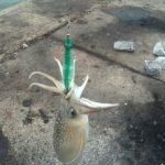 旭市、飯岡大堤防で、産卵期のシリヤケイカを釣る!
