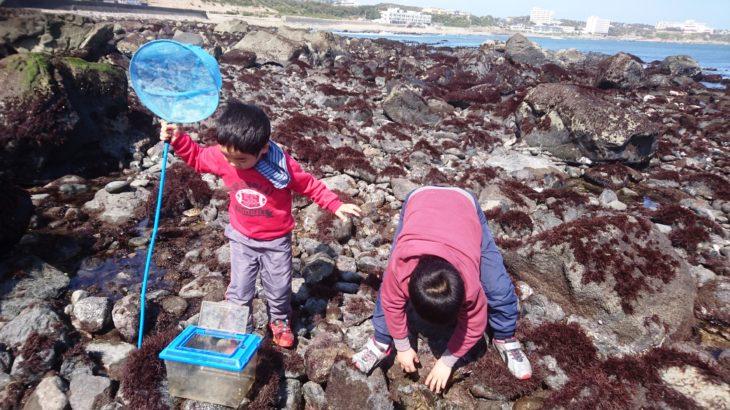 銚子市 長崎鼻・西明浦のゴロタで、クモヒトデ、馬糞ウニを見つける!