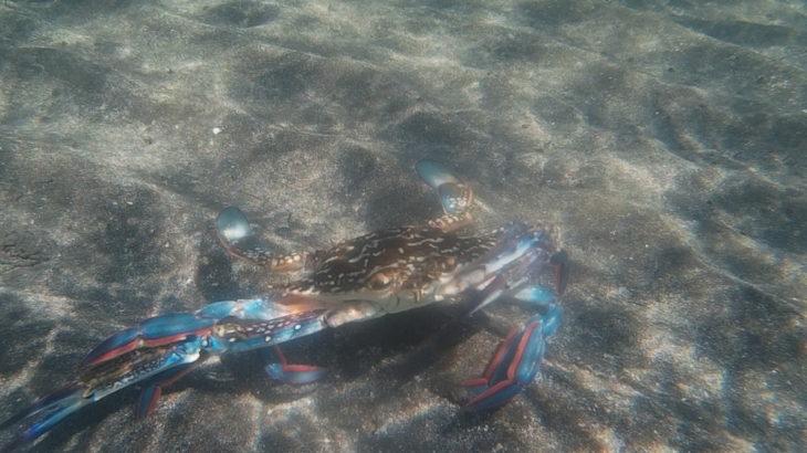 南房総市 透明度の高い南房総の海で、タイワンガザミ、アオヤガラと一緒に泳ぐ!